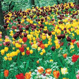 Long-Stemmed Perennial Tulip Mix