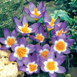 Species Crocus Tricolor (sieberi)