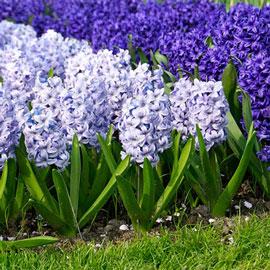 Hyacinth Blue Ice (Sky Jacket)