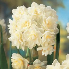 Double Daffodil Erlicheer