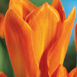 Fosteriana Tulip Orange Emperor