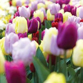 Triumph Tulip Mix