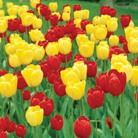 Apeldoorn & Golden Apeldoorn Tulip Combo
