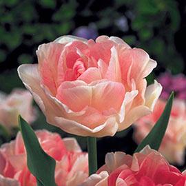 Double Flowering Tulips