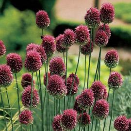 Allium sphaerocephalon (Drumstick Allium)