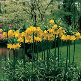 Fritillaria imperialis lutea 'Maxima' (Yellow Crown)