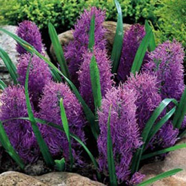 Muscari Plumosum (Feather Hyacinth)