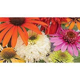 Echinacea Color Showtime Mix
