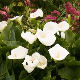 Hybrid Calla Lily Aethiopica