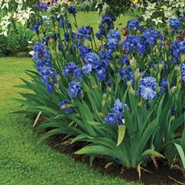 Reblooming German Iris Victoria Falls