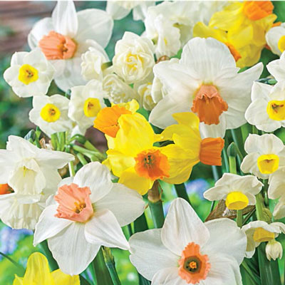 All Spring Daffodil Mix