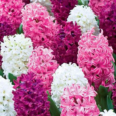 Royal Hyacinth Trio