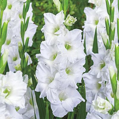 Gladiolus White Prosperity