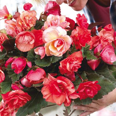 Fragrant Double Begonia Odorosa
