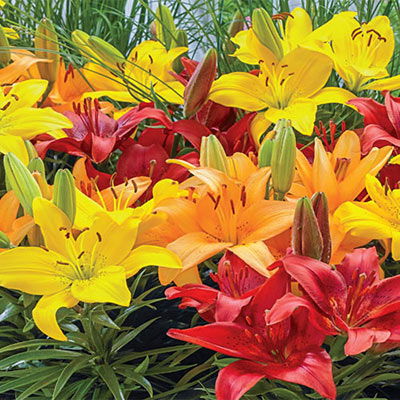 Asiatic Border Lilies Mixed