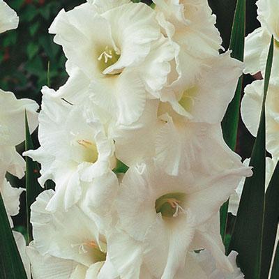 Hybrid Gladiolus Essential