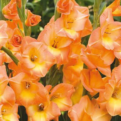 Hybrid Gladiolus Peach Melba