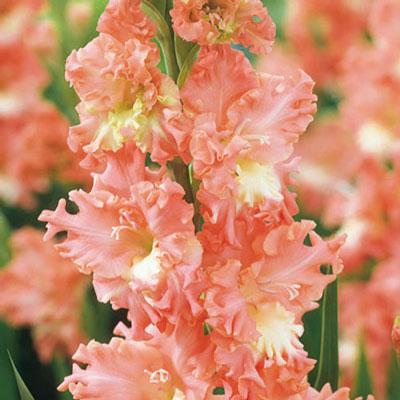 Hybrid Gladiolus Fringed Coral Lace