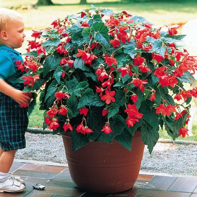 Skaugum Begonia