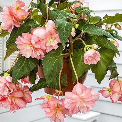 Double Hanging Basket Begonias Pink