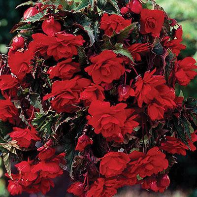 Double Hanging Basket Begonias Scarlet