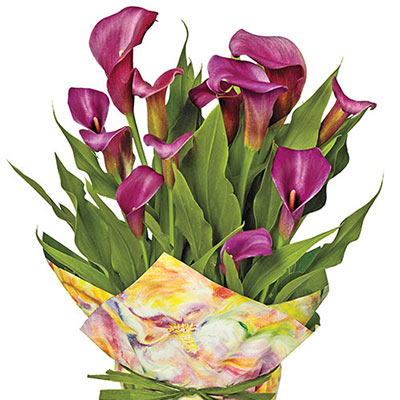 Free-Flowering Hybrid Calla Lily Purple Sensation
