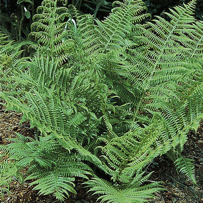 Toothed Wood Fern (Dryopteris carthusiana (syn. Dryopteris spinulosa)