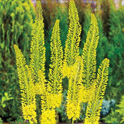 Eremurus (Foxtail Lilies) Bungei (Stenophyllus)