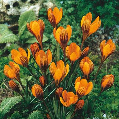 Species Crocus Orange Monarch®