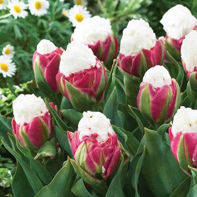 Double Peony Tulip Ice Cream<sup>®</sup>