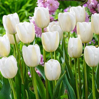 May Flowering Tulip Clearwater