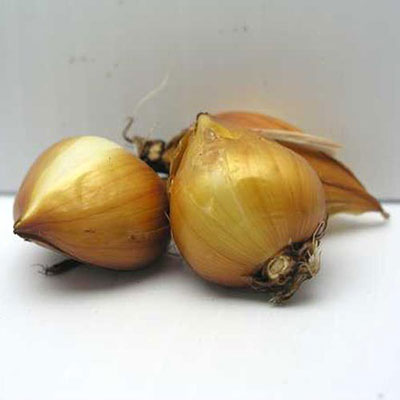 Dutch Iris Gipsy Beauty<sup>®</sup>