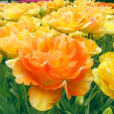 Double Peony Tulip Charming Beauty