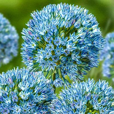 Allium ceasium Zamin