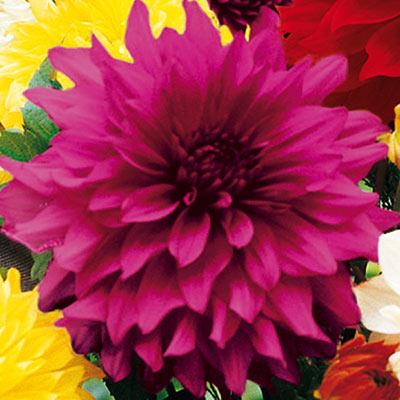Large Decorative Dahlia Le Baron
