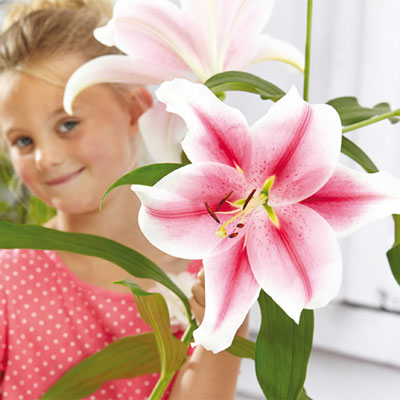 Giant Hybrid Lily Pink Brilliant