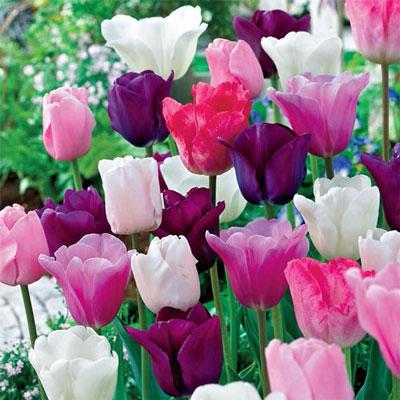 Plum Parade Tulip Mix