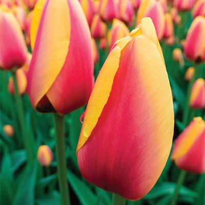 Darwin Hybrid Tulip World Peace