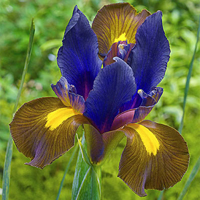 Dutch Iris Eye of the Tiger