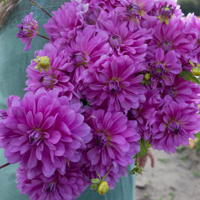 Decorative Dahlia Bluetiful
