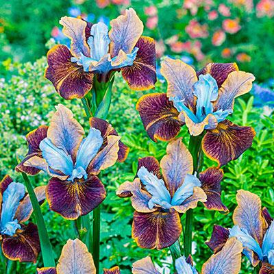 Siberian Iris Black Joker