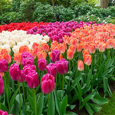 Garden filled with tulips blooming in a mix of colors that includes pink, red, purple, orange and apricot