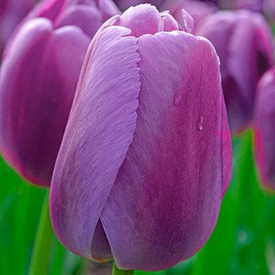 Darwin Hybrid Tulip Purple Pride