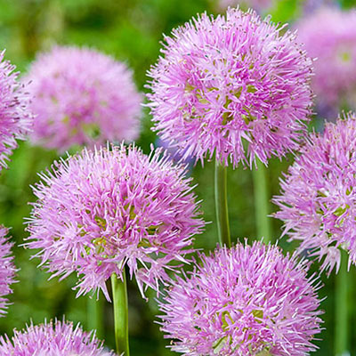 Fluffy, globe-shaped allium flower heads comprised of hundreds of tiny florets in bright shades of pink and violet