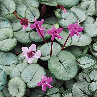 Cyclamen coum Pewter Leaf Mix