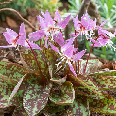 Tiny, pale purple flowers with mustard-yellow centers bloom above mottled bronze and green foliage