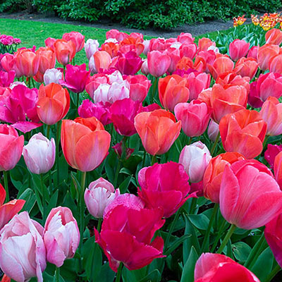 Green lawn filled with Darwin hybrid tulips in coral-pink hues, pink-purple blends and orange-pink blends