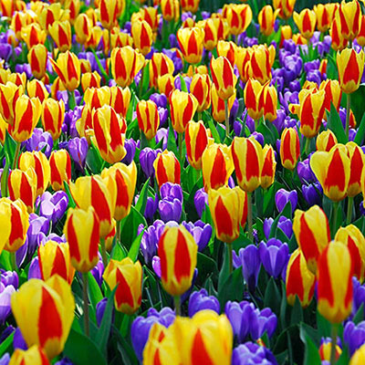 Profusion of dark purple crocuses and vibrant red tulips accented with broad, bold edges of yellow