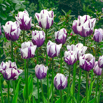 Tulips blooming in a verdant garden, their snowy white petals accented by flames of rich purple color