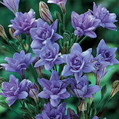 Cluster of 12 petite, double-flowers in a rich, deep blue hue among buds that have not yet opened